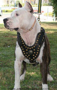 Exclusive Design Studded Leather Harness