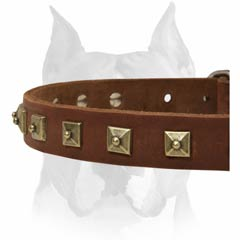 Comfortable walking with Amstaff leather studded dog collar