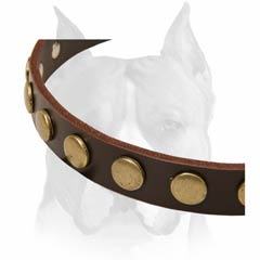 Brass circles decorated leather dog collar for handling Amstaffs