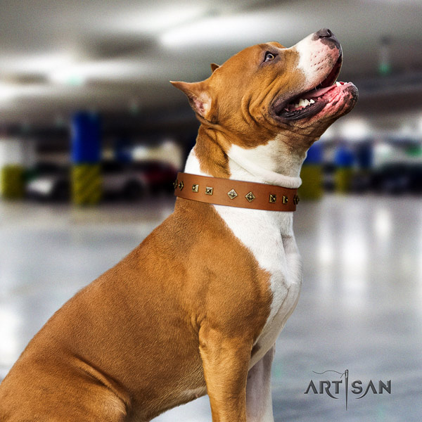 Amstaff significant full grain leather dog collar with embellishments for everyday walking