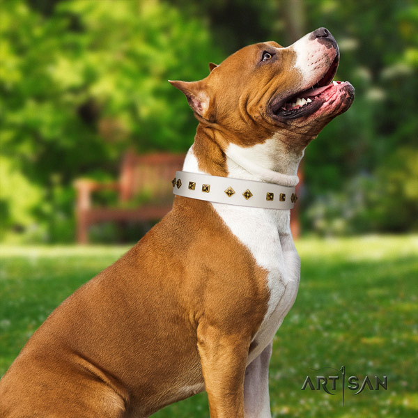 Amstaff significant leather dog collar with adornments for basic training