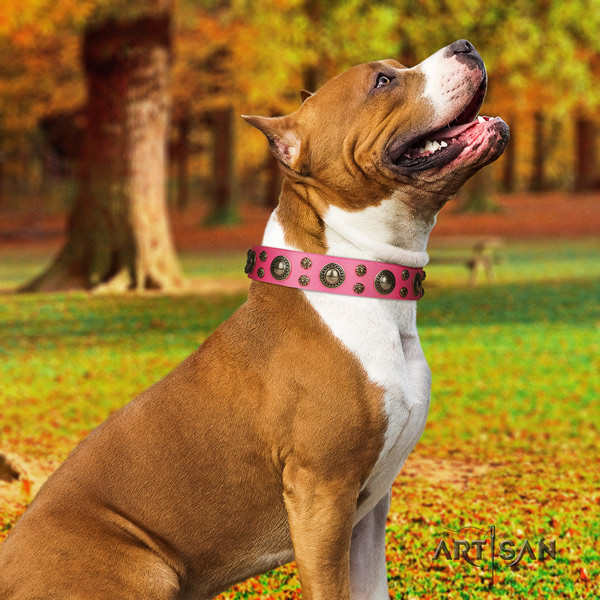 Amstaff extraordinary genuine leather dog collar with embellishments for fancy walking