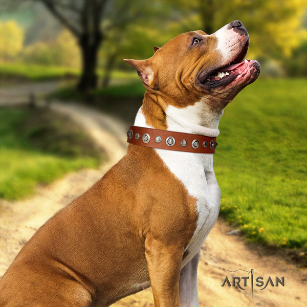 Amstaff fashionable full grain leather dog collar with studs for easy wearing