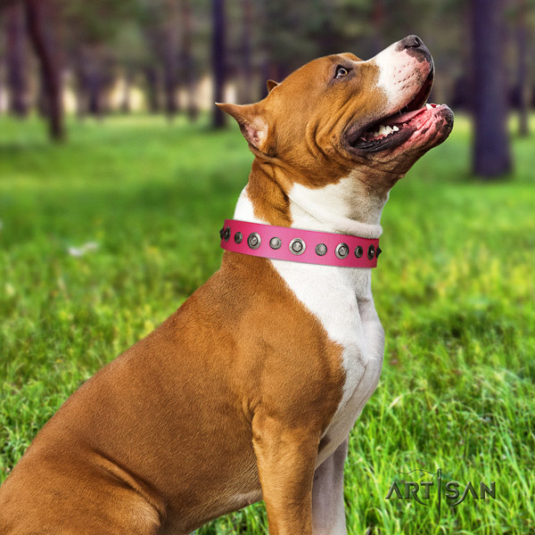 Amstaff incredible genuine leather dog collar with adornments for walking