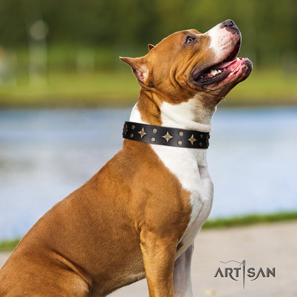 Amstaff exceptional genuine leather dog collar with adornments for daily walking