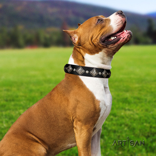 Amstaff awesome full grain leather dog collar with studs for everyday walking