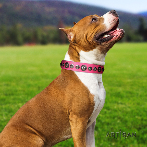 Amstaff amazing leather dog collar with studs for stylish walking