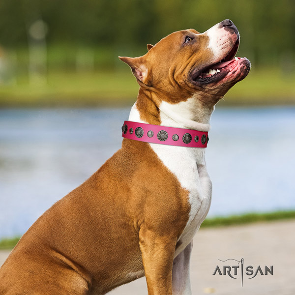 Amstaff significant genuine leather dog collar with adornments for basic training