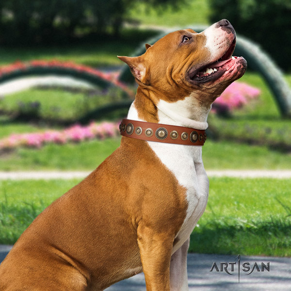 Amstaff remarkable genuine leather dog collar with adornments for daily walking
