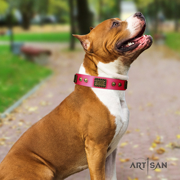 Amstaff exquisite full grain leather dog collar with adornments for everyday walking