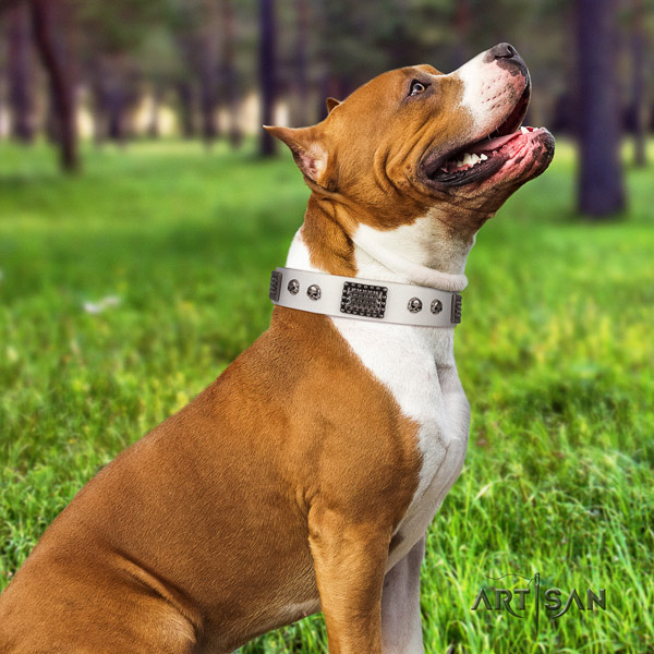 Amstaff remarkable genuine leather dog collar with adornments for basic training