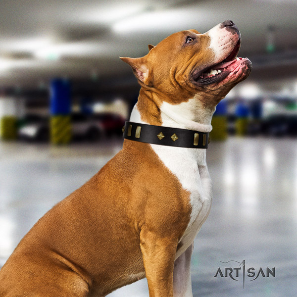 Amstaff significant leather dog collar for basic training