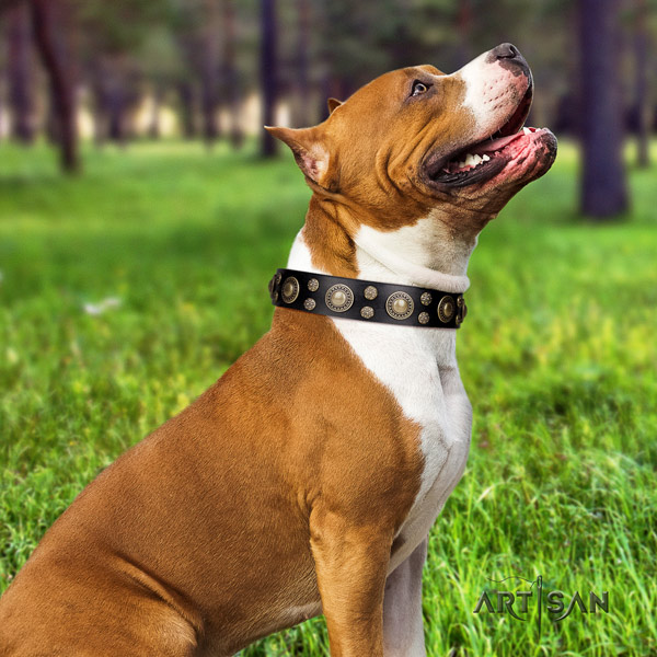 Amstaff trendy genuine leather dog collar with adornments for fancy walking