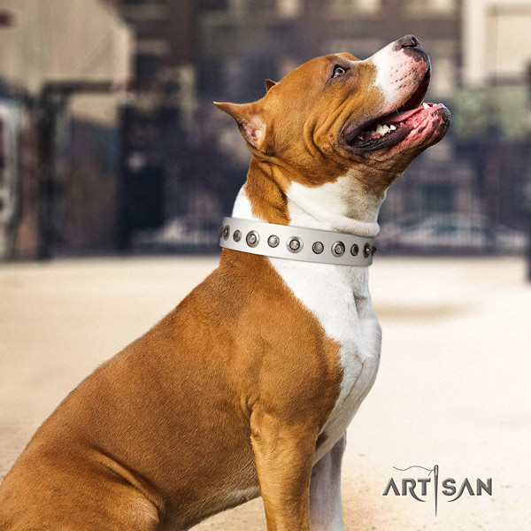 Amstaff significant full grain leather dog collar with studs for stylish walking