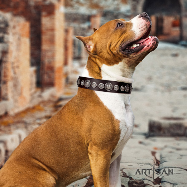 Amstaff incredible leather dog collar with adornments for comfy wearing