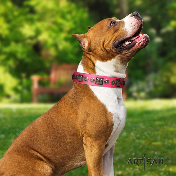 Amstaff unique leather dog collar with adornments for everyday walking