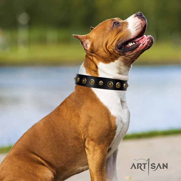 Amstaff impressive full grain natural leather dog collar for daily use