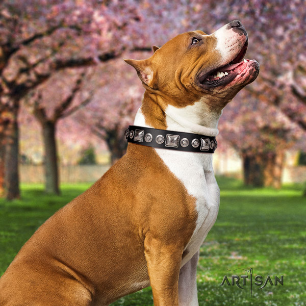 Amstaff extraordinary full grain leather dog collar with embellishments for daily walking