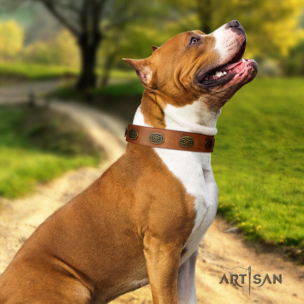 Amstaff top notch full grain leather dog collar with embellishments for basic training