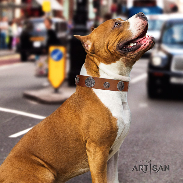 Amstaff adorned full grain natural leather dog collar for comfy wearing