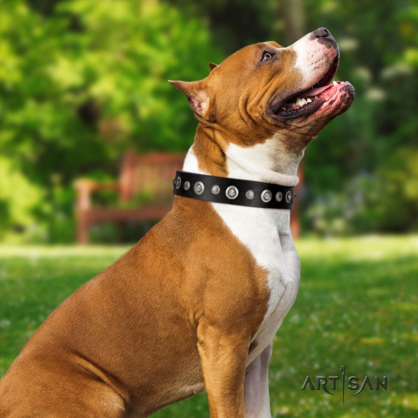 Amstaff remarkable genuine leather dog collar with adornments for walking