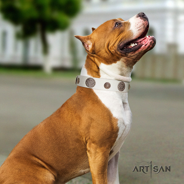 Amstaff designer full grain genuine leather dog collar for fancy walking