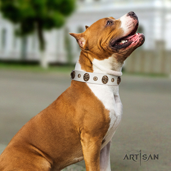 Amstaff top notch full grain natural leather dog collar for stylish walking