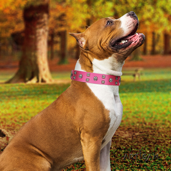 Amstaff stunning full grain genuine leather dog collar for comfy wearing