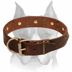Leather Collar With Brass-Plated Studs for Amstaff Walking