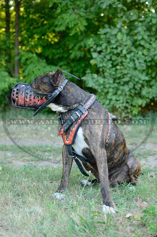 Amstaff leather decorated harness for training