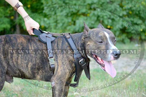 trainign Amstaff harness with handle