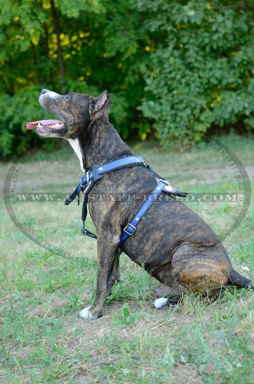 Decorated leather harness for Amstaff