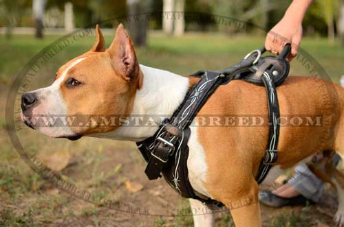Amstaff dog wearing professional attack harness