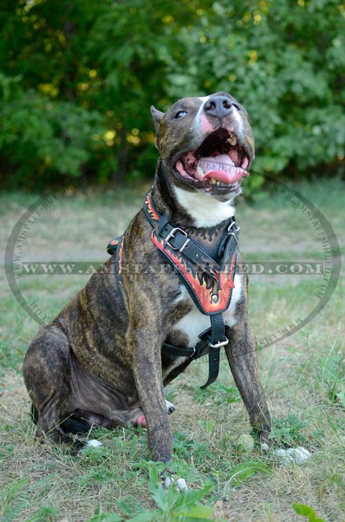 Painted chest plate of this Amstaff harness