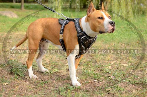 Gorgeous leather harness for Amstaff
