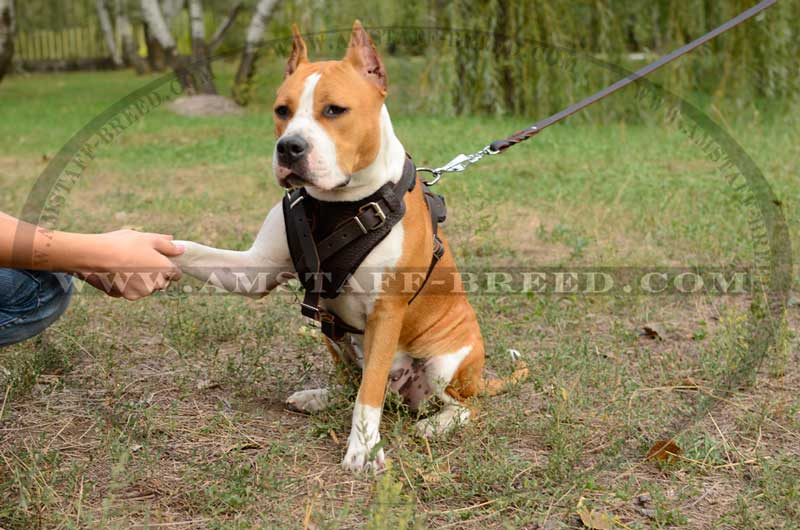 Agitation Leather Dog Harness for American Staffordshire ...