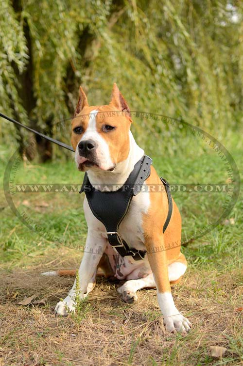 Well harnessed Amstaff dog