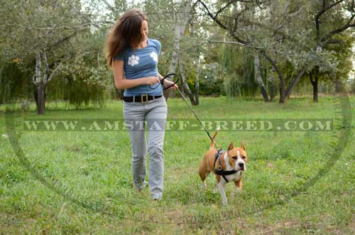 Amstaff dog wearing pulling leather harness