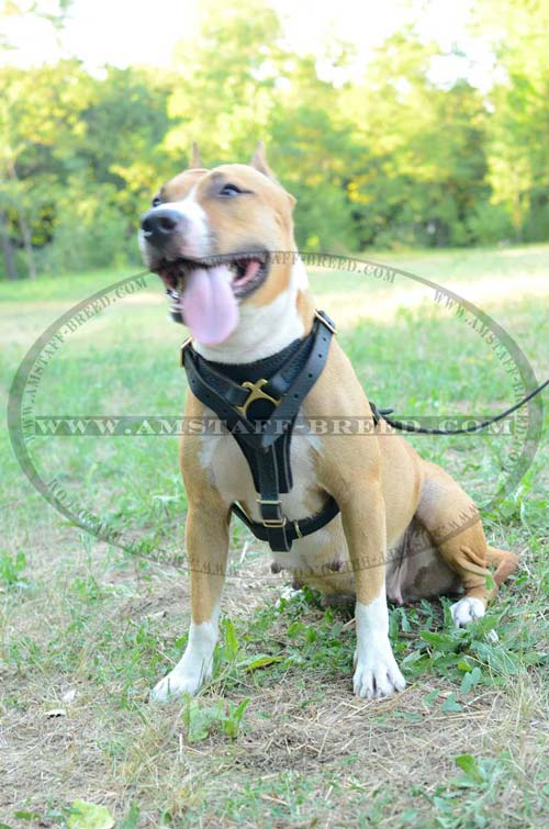 Amstaff harness for walking and tracking
