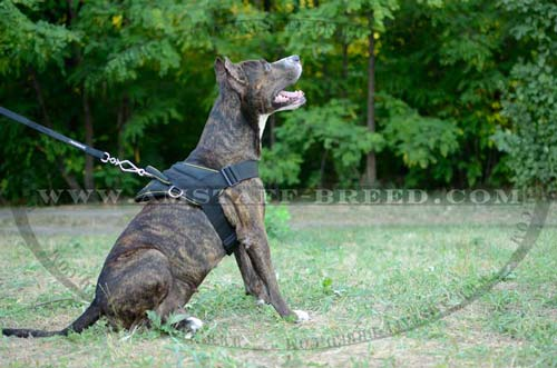 Well harnesses Amstaff dog