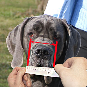 How to measure your Amstaff step 5