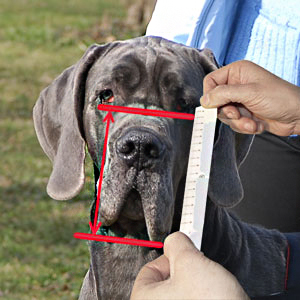How to measure your Amstaff step 6