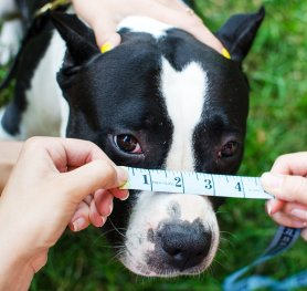 How to measure your Amstaff for good fit muzzle